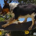 Jumpy Anjing Paling Pintar di Dunia